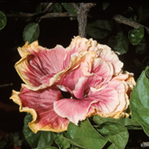 Hibiscus rosa-sinensis 'Fickle Lady'