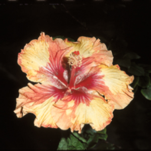 Hibiscus rosa-sinensis 'Indian Maid'