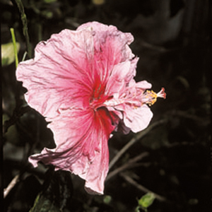 Hibiscus rosa-sinensis 'Gray Lady'