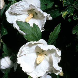 Hibiscus syriacus 'William R. Smith'