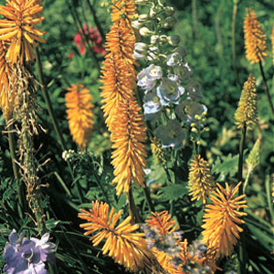 Kniphofia 'Golden Amber'