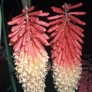 Kniphofia 'Red Admiral'