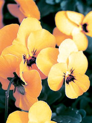 Viola 'Baby Face Yellow'