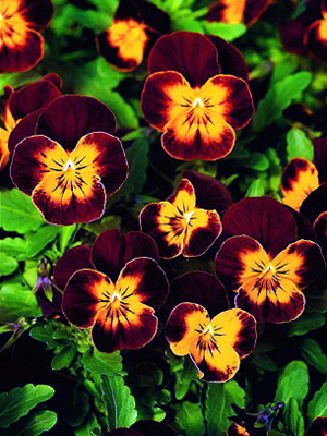 Viola 'Sparkler Red Wings'