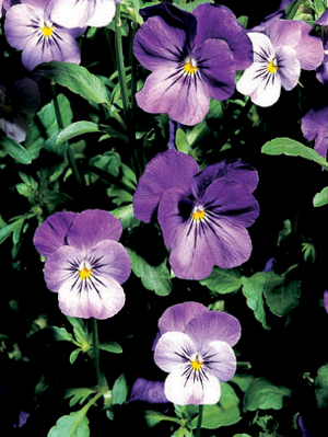 Viola 'Princess Blue'