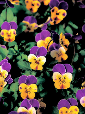 Viola 'Jewel Blue and Yellow'