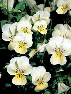 Viola 'Pricess Cream'